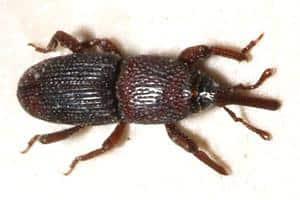 Snudebiller er blandt de mest almindelige biller i Danmark.