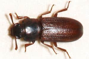 Sorte biller i hjemmet og køkkenet kan være flere forskellige arter. Men oftest er det brødbiller eller rismelbiller