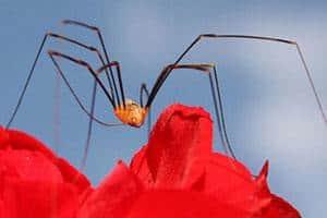 Edderkop og små røde edderkopper i vindueskarmen kaldes også stikkelsbærmider