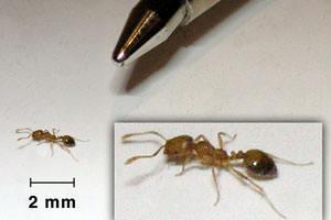 Bekæmpelse af faraomyrer er svært, da man skal have elimineret myreboet.