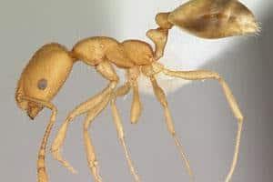 Faraomyrer er små brunlige glasklare myrer, der lever i kolonier