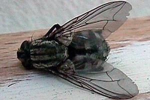Fluer bekæmpes i stalden minkfarme og i private hjem