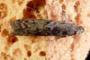 Frømøl er en anden art, hvor man skal iværksætte mølbekæmpelse