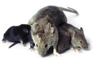 Bekæmpelse af mus og hvordan man slipper af med dem