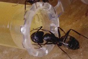 Flyvemyrer og tissemyrer bekæmpes med langtidsvirkende gift. Myre og tissemyre kommer i det tidlige forår