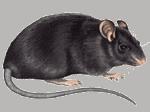 Dyr på loftet kan være husmår eller rotter