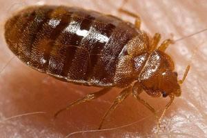 Væggelus kaldes også for sengelus, bedbugs og væglus. Det er ikke bevist, at de kan sprede smitte