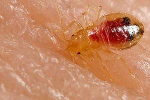 Væggelus bid er smertefuldt. De suger blod og afleverer gift i to forskellige stik