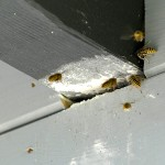 Hvepsebo der er fjernet giver problemer med hvepse