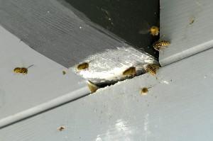 Hvepsebo der er fjernet