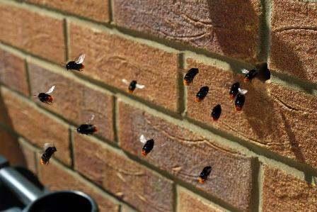 Brumbasser og humlebier i muren