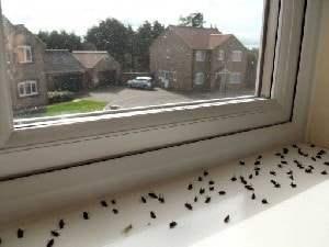 Store sorte fluer i vindueskarm kaldes klyngefluer