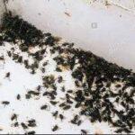 klyngefluer er store sorte fluer i vinduet og vindueskarmen