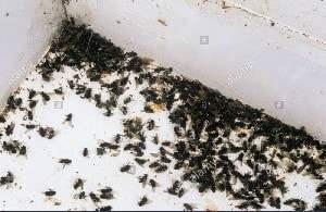 Klyngefluer er store sorte dovne fluer der sidder på muren og er i vindueskarmen