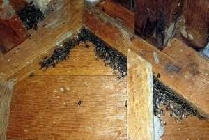 Klyngefluer på loftet