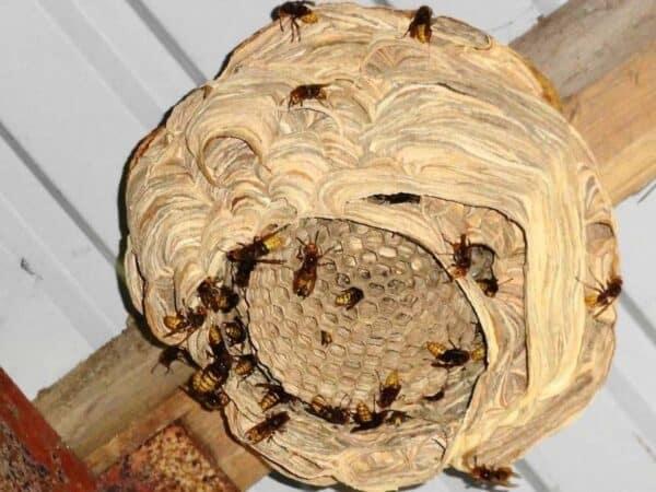Skovhveps kæmpehveps træhveps
